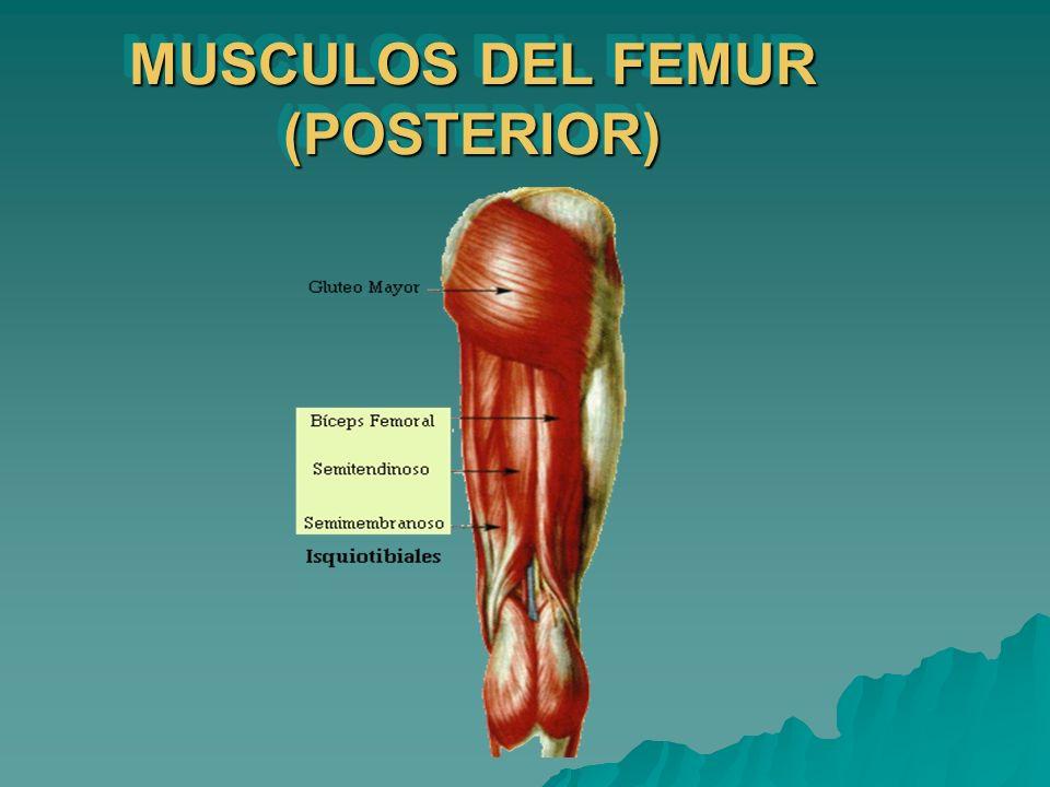 MUSCULOS DEL FEMUR (POSTERIOR)