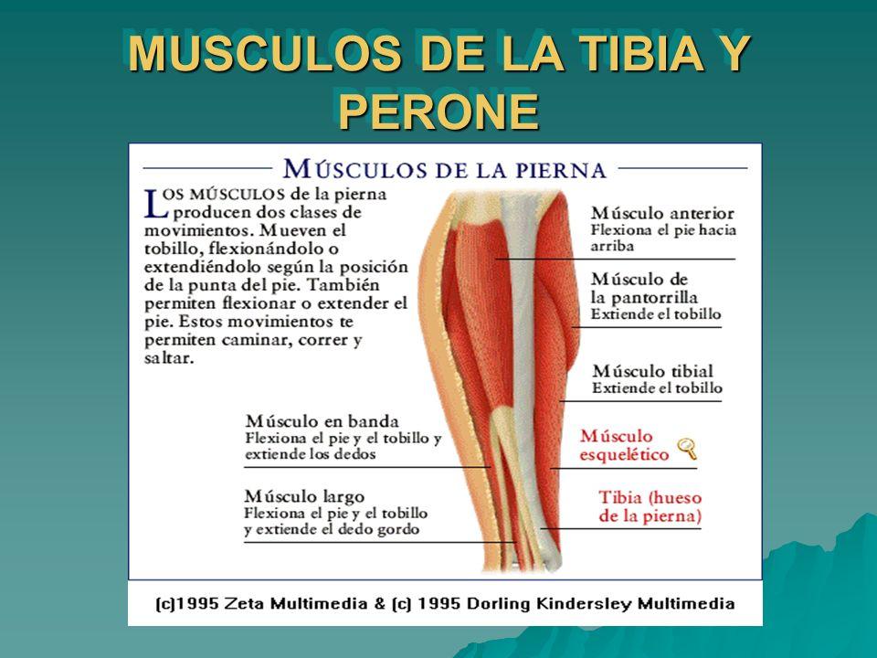 MUSCULOS DE LA TIBIA Y PERONE