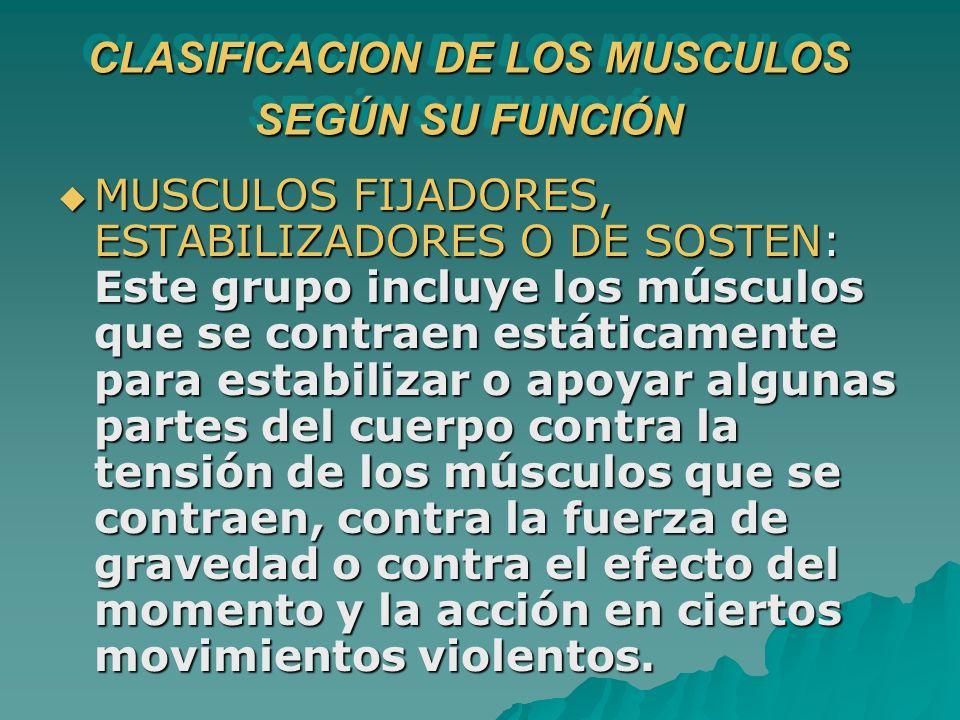 MUSCULOS FIJADORES, ESTABILIZADORES O DE SOSTEN: Este grupo incluye los músculos que se contraen estáticamente para estabilizar o apoyar algunas parte