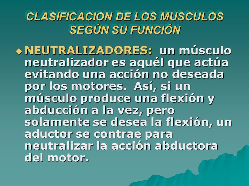NEUTRALIZADORES: un músculo neutralizador es aquél que actúa evitando una acción no deseada por los motores. Así, si un músculo produce una flexión y