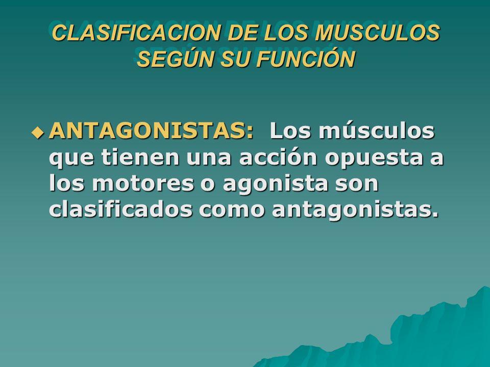 CLASIFICACION DE LOS MUSCULOS SEGÚN SU FUNCIÓN ANTAGONISTAS: Los músculos que tienen una acción opuesta a los motores o agonista son clasificados como