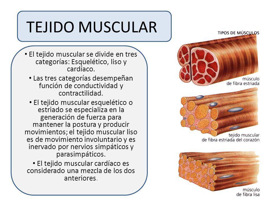 TEJIDO MUSCULAR El tejido muscular se divide en tres categorías: Esquelético, liso y cardíaco.