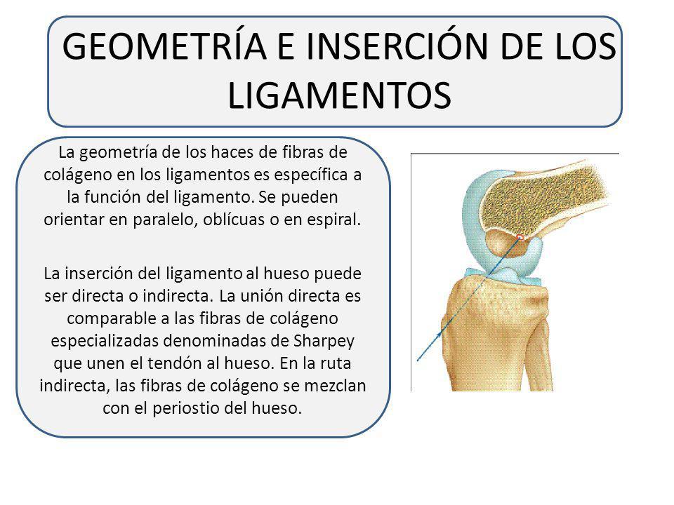 LOS LIGAMENTOS Los ligamentos son estructuras de tejido conectivo regular y denso que unen un hueso a otro hueso. La primera función de los ligamentos