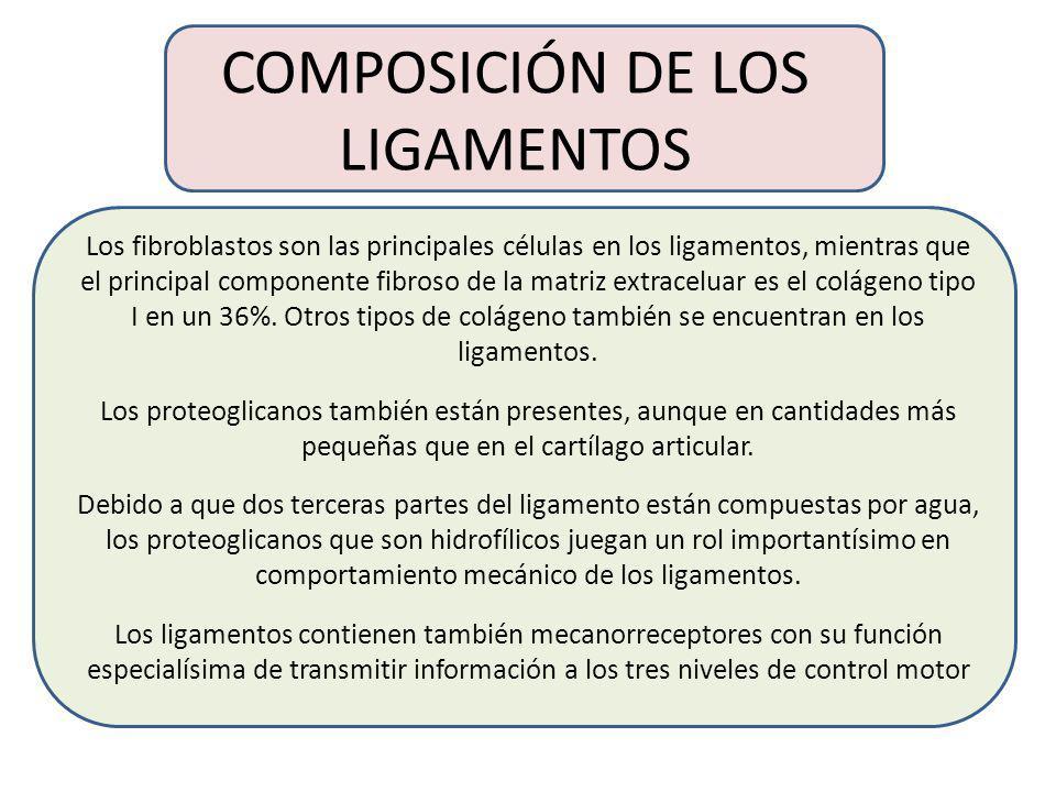GEOMETRÍA E INSERCIÓN DE LOS LIGAMENTOS La geometría de los haces de fibras de colágeno en los ligamentos es específica a la función del ligamento. Se