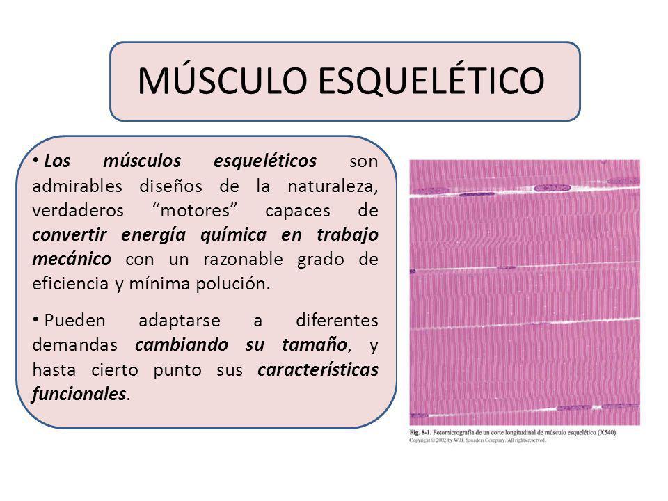 FASCIAS Las fascias son una categoría general que incluyen tejidos conectivos densos, fibrosos y desorganizados que no caen dentro de las categorías d