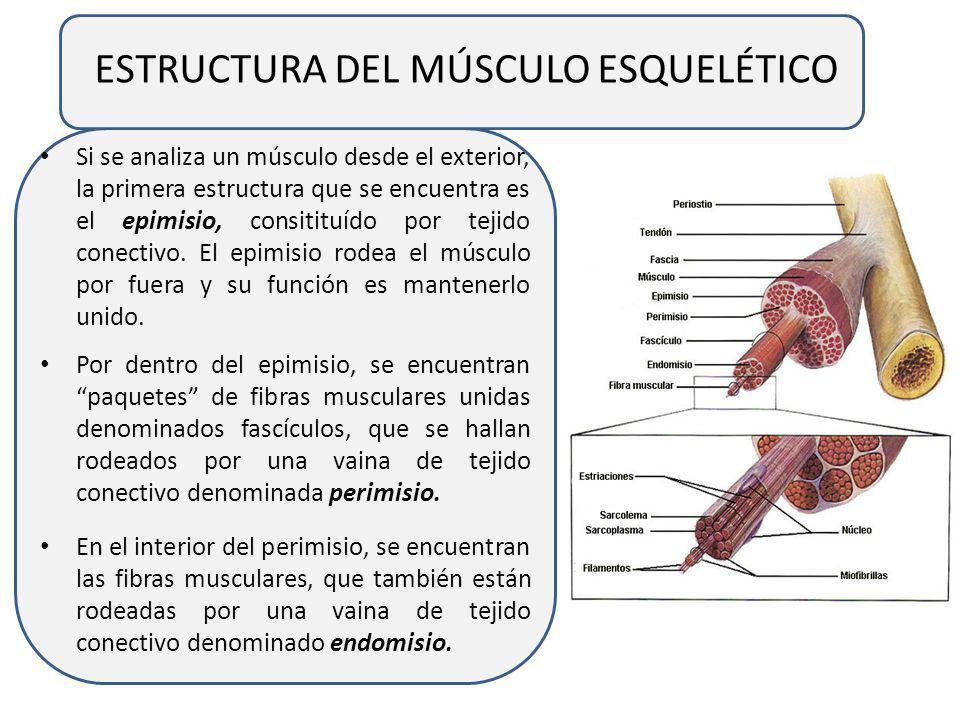 MÚSCULO ESQUELÉTICO Los músculos esqueléticos son admirables diseños de la naturaleza, verdaderos motores capaces de convertir energía química en trab