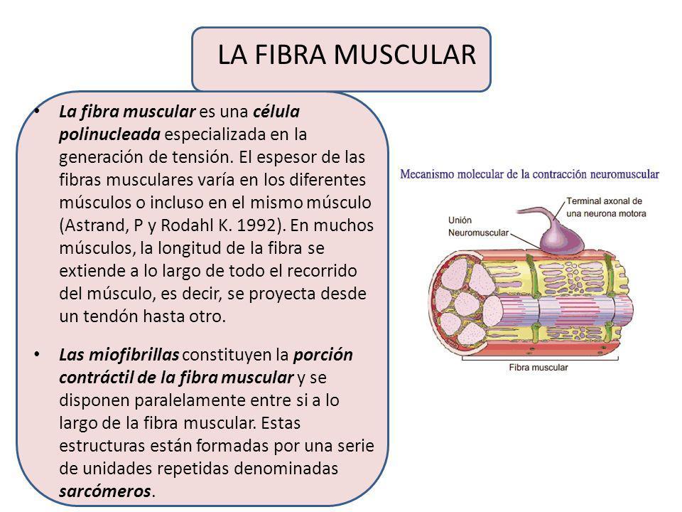 ESTRUCTURA DEL MÚSCULO ESQUELÉTICO Si se analiza un músculo desde el exterior, la primera estructura que se encuentra es el epimisio, consitituído por
