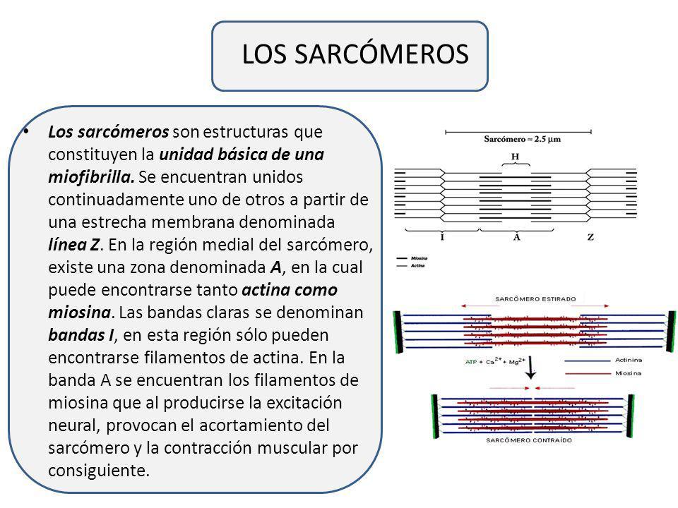LA FIBRA MUSCULAR La fibra muscular es una célula polinucleada especializada en la generación de tensión. El espesor de las fibras musculares varía en