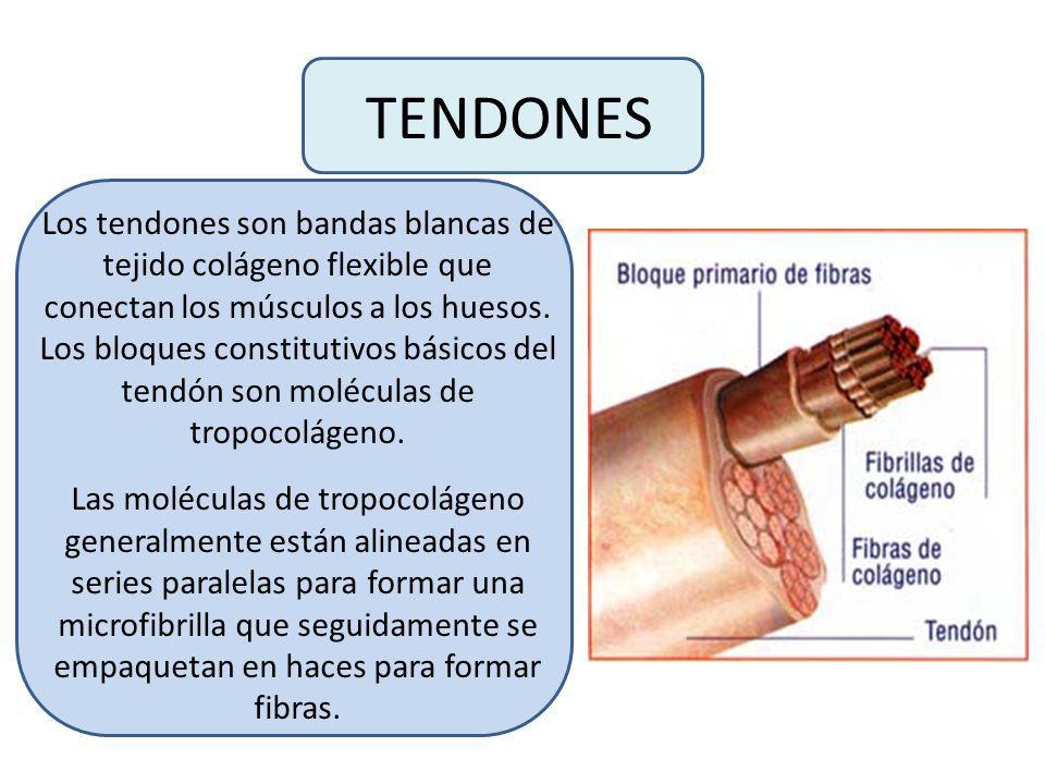 TENDONES Los tendones son bandas blancas de tejido colágeno flexible que conectan los músculos a los huesos.