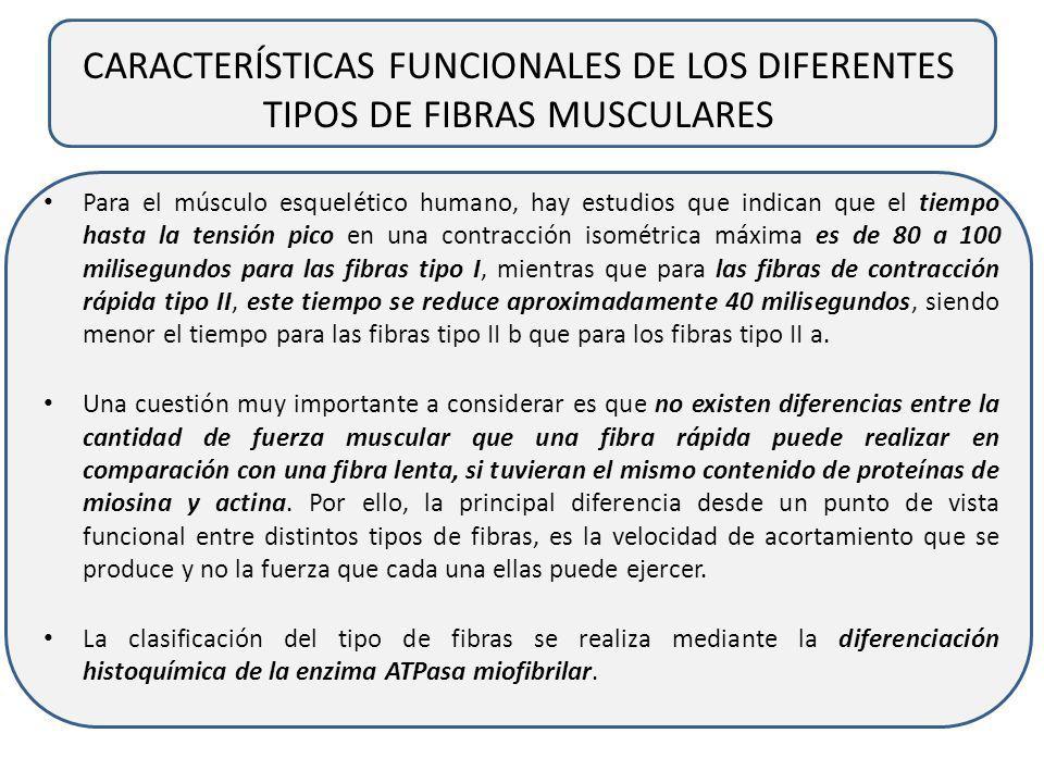 CARACTERÍSTICAS FUNCIONALES DE LOS DIFERENTES TIPOS DE FIBRAS MUSCULARES Pueden identificarse dos clases principales de fibras, aquellas con un tiempo