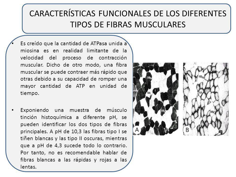CARACTERÍSTICAS FUNCIONALES DE LOS DIFERENTES TIPOS DE FIBRAS MUSCULARES Para el músculo esquelético humano, hay estudios que indican que el tiempo ha