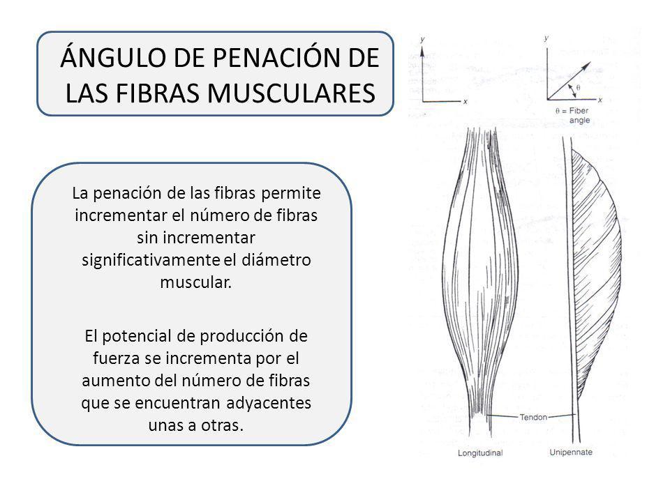 ÁNGULO DE PENACIÓN DE LAS FIBRAS MUSCULARES Los músculos longitudinales o fusiformes tiene fibras musculares que se encuentran paralelas a la línea de