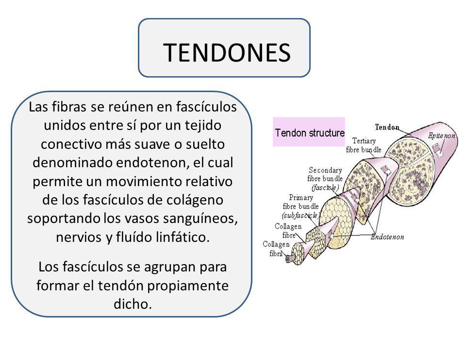 TENDONES Las fibras se reúnen en fascículos unidos entre sí por un tejido conectivo más suave o suelto denominado endotenon, el cual permite un movimiento relativo de los fascículos de colágeno soportando los vasos sanguíneos, nervios y fluído linfático.
