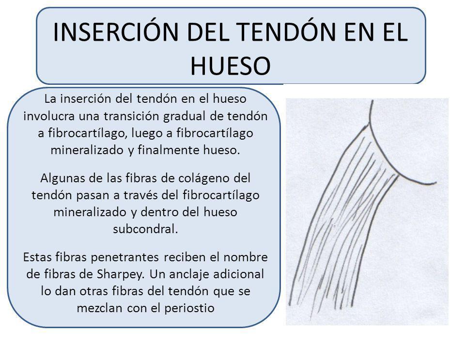 INSERCIÓN DEL TENDÓN EN EL HUESO La inserción del tendón en el hueso involucra una transición gradual de tendón a fibrocartílago, luego a fibrocartílago mineralizado y finalmente hueso.