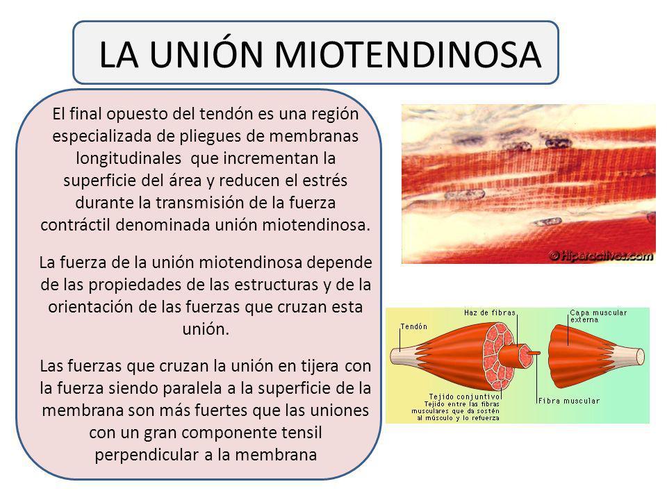 LA UNIÓN MIOTENDINOSA El final opuesto del tendón es una región especializada de pliegues de membranas longitudinales que incrementan la superficie del área y reducen el estrés durante la transmisión de la fuerza contráctil denominada unión miotendinosa.