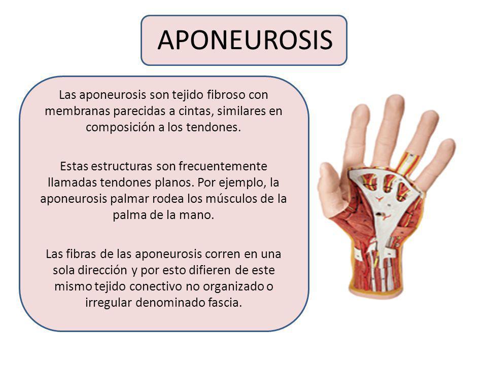 APONEUROSIS Las aponeurosis son tejido fibroso con membranas parecidas a cintas, similares en composición a los tendones.