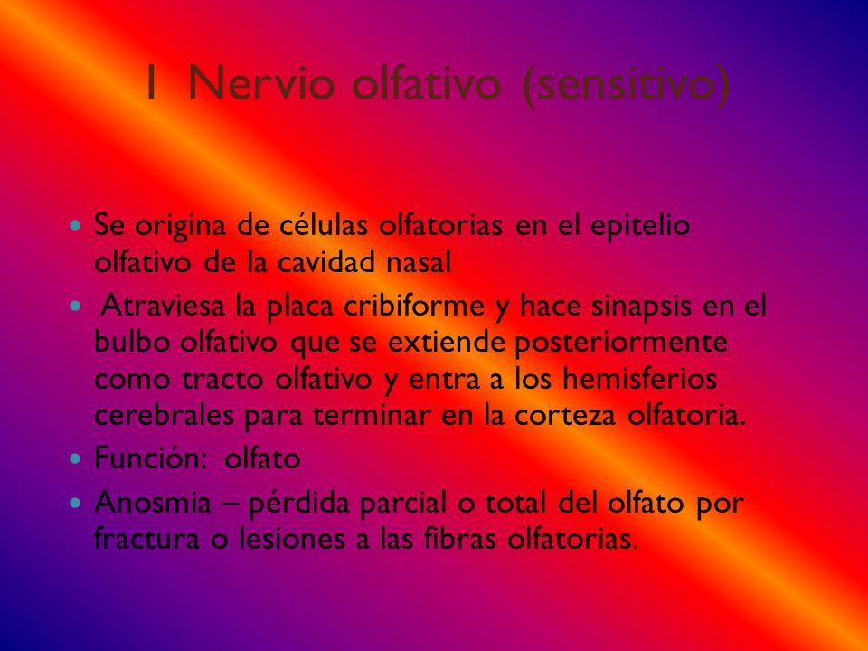 I Nervio olfativo (sensitivo) Se origina de células olfatorias en el epitelio olfativo de la cavidad nasal Atraviesa la placa cribiforme y hace sinaps