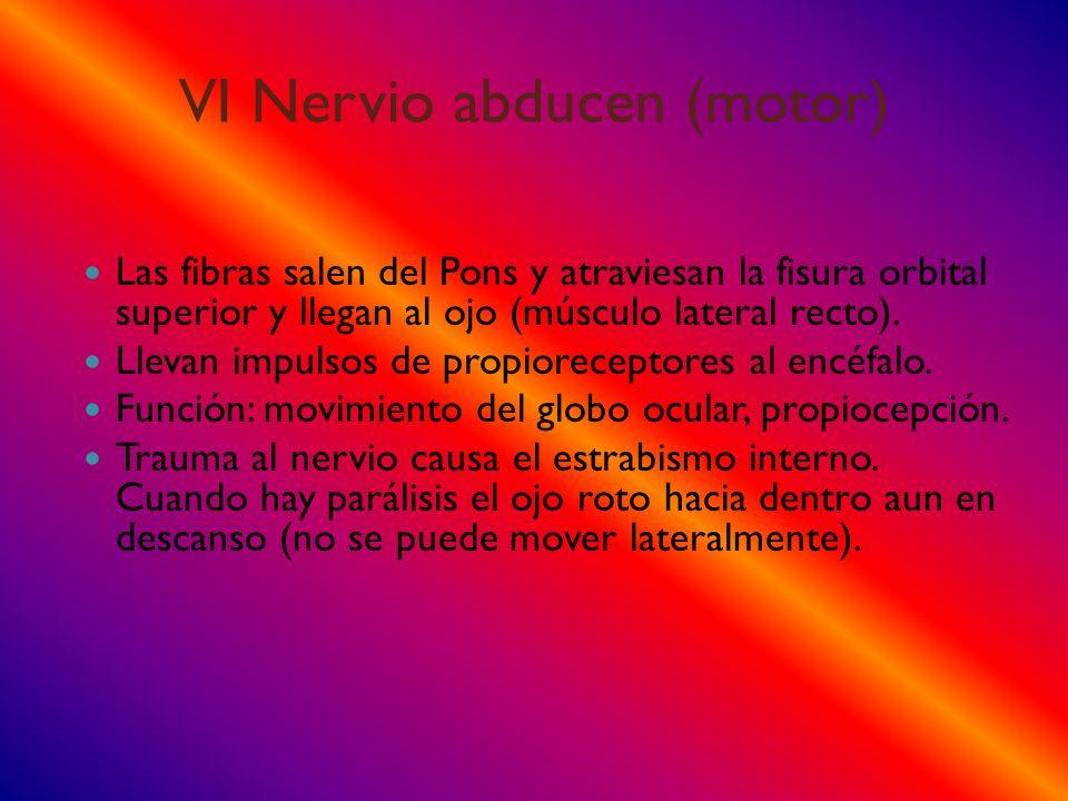 VI Nervio abducen (motor) Las fibras salen del Pons y atraviesan la fisura orbital superior y llegan al ojo (músculo lateral recto). Llevan impulsos d