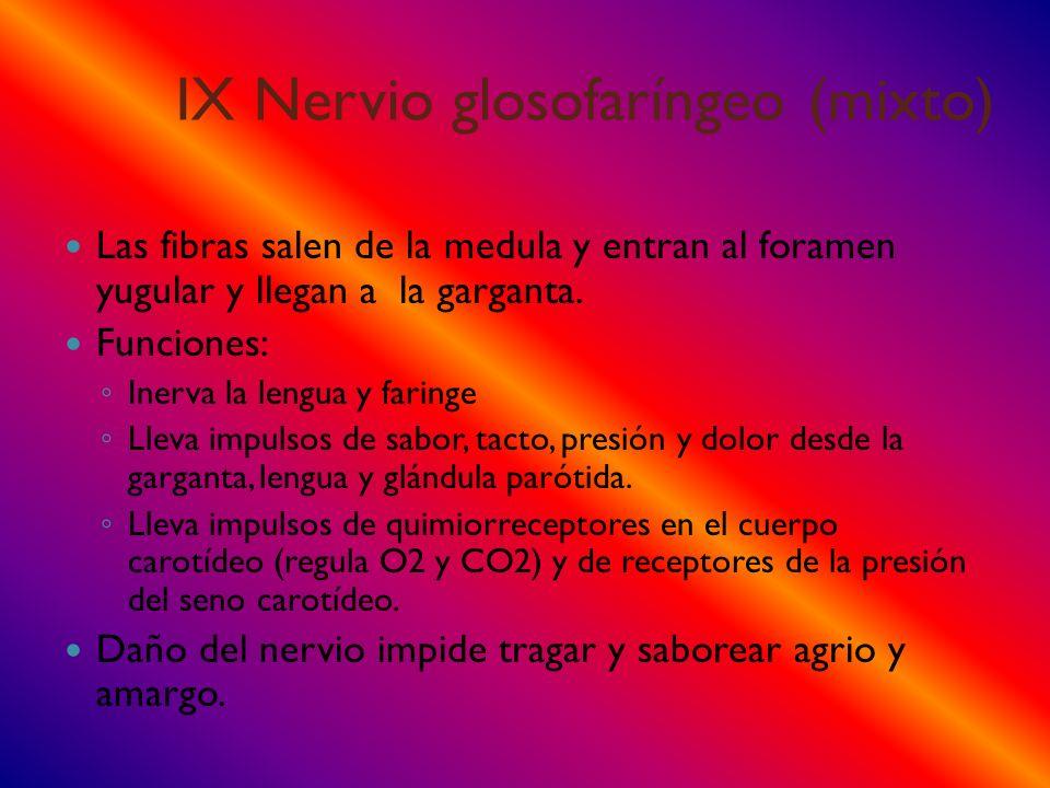 IX Nervio glosofaríngeo (mixto) Las fibras salen de la medula y entran al foramen yugular y llegan a la garganta. Funciones: Inerva la lengua y faring