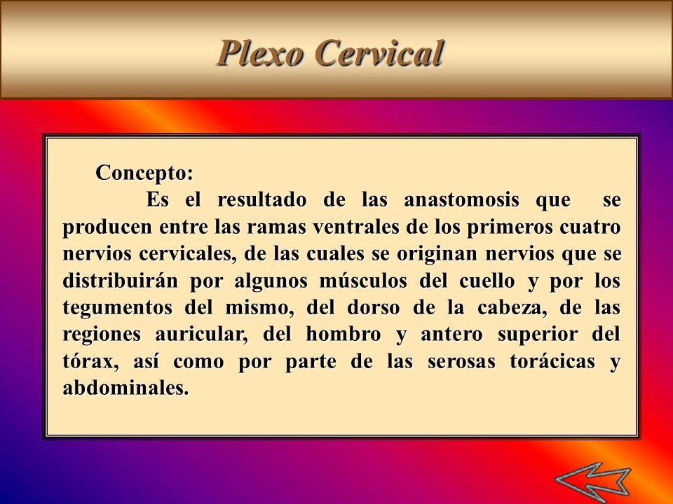 Concepto: Es el resultado de las anastomosis que se producen entre las ramas ventrales de los primeros cuatro nervios cervicales, de las cuales se ori