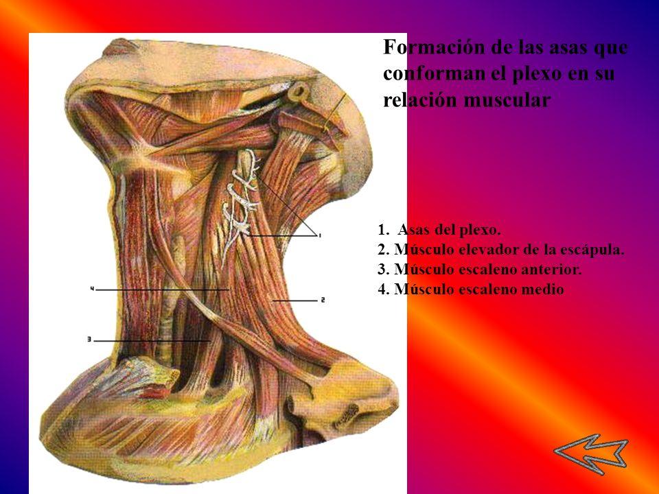 1. Asas del plexo. 2. Músculo elevador de la escápula. 3. Músculo escaleno anterior. 4. Músculo escaleno medio Formación de las asas que conforman el