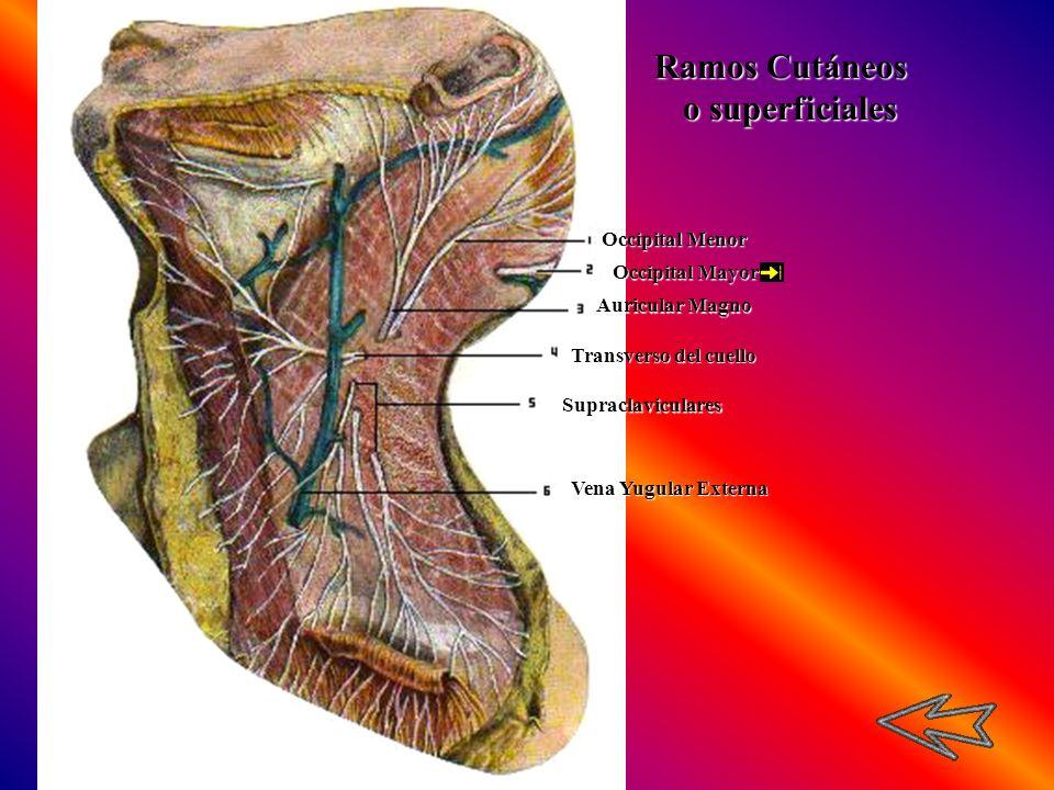 Occipital Menor Occipital Mayor Auricular Magno Transverso del cuello Supraclaviculares Vena Yugular Externa Ramos Cutáneos o superficiales