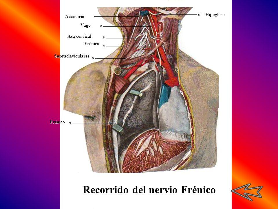 Accesorio Vago Asa cervical HipoglosoFrénicoFrénico Supraclaviculares Recorrido del nervio Frénico