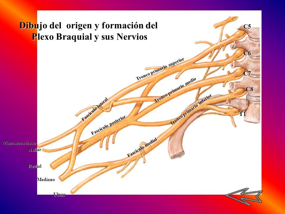 C5C6 C7 C8 T1 Tronco primario superior Tronco primario medio Tronco primario inferior Fascículo lateral Fascículo posterior Fascículo medial Musculocu