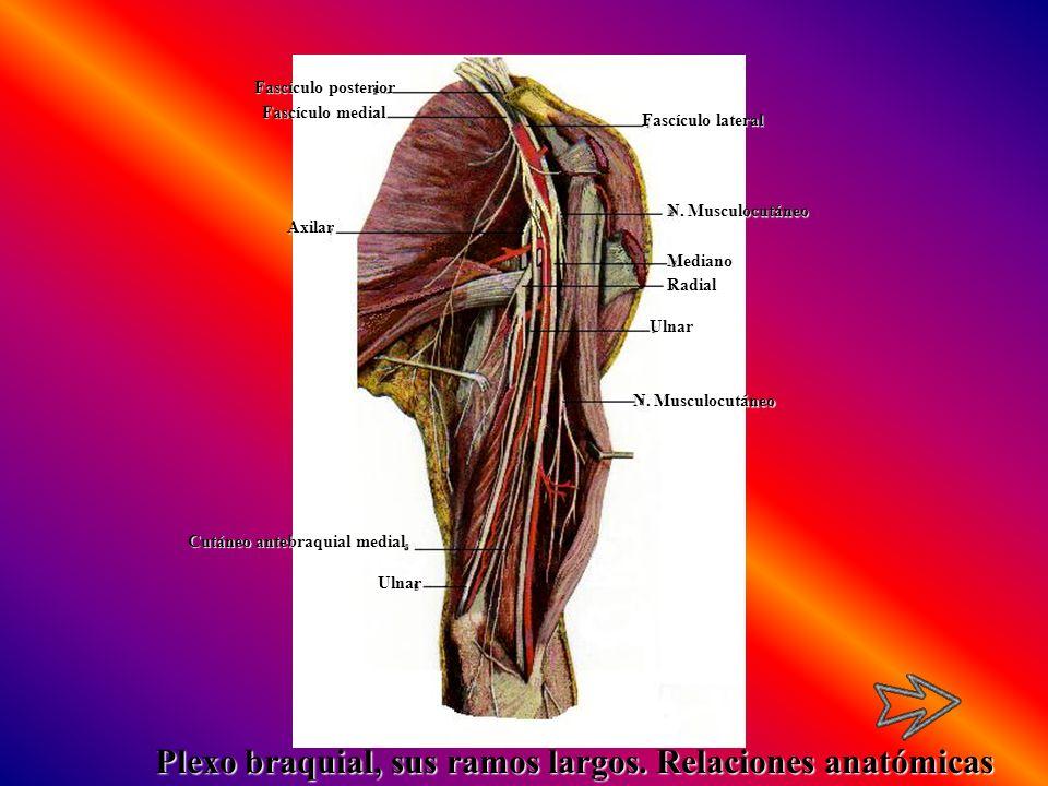 Radial Fascículo lateral N. Musculocutáneo Mediano Ulnar Ulnar Cutáneo antebraquial medial Axilar Fascículo medial Fascículo posterior Plexo braquial,