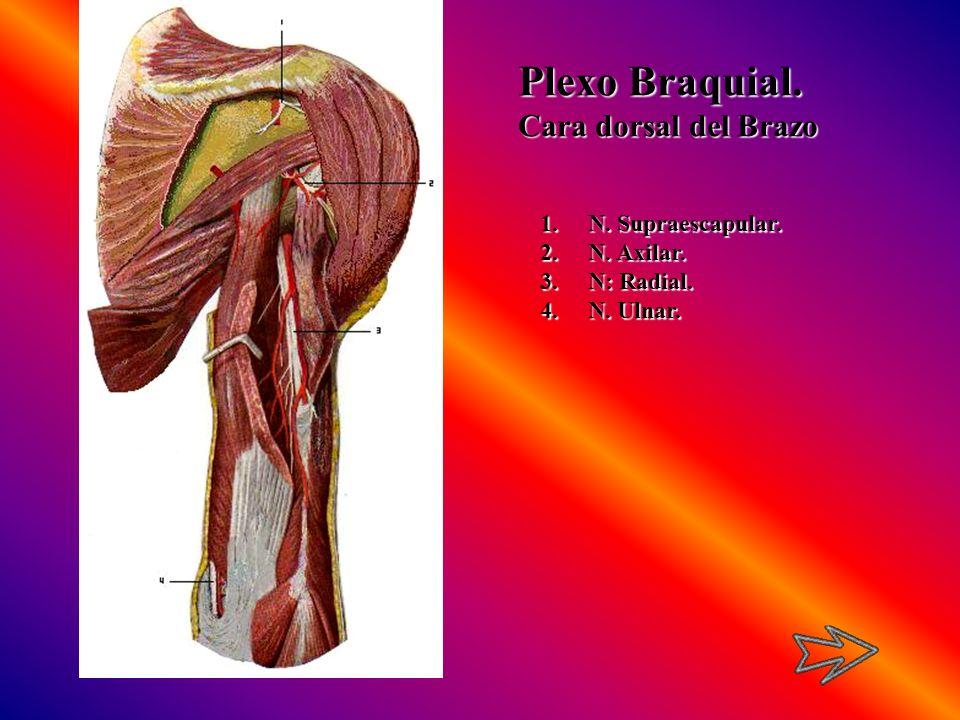 Plexo Braquial. Cara dorsal del Brazo 1.N. Supraescapular. 2.N. Axilar. 3.N: Radial. 4.N. Ulnar.
