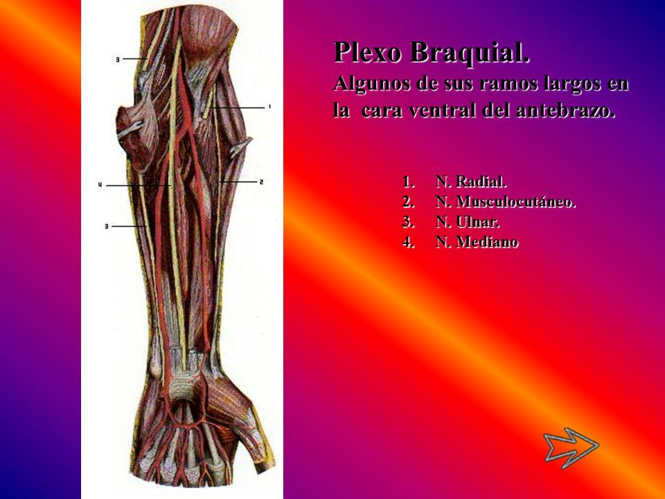 Plexo Braquial. Algunos de sus ramos largos en la cara ventral del antebrazo. 1.N. Radial. 2.N. Musculocutáneo. 3.N. Ulnar. 4.N. Mediano