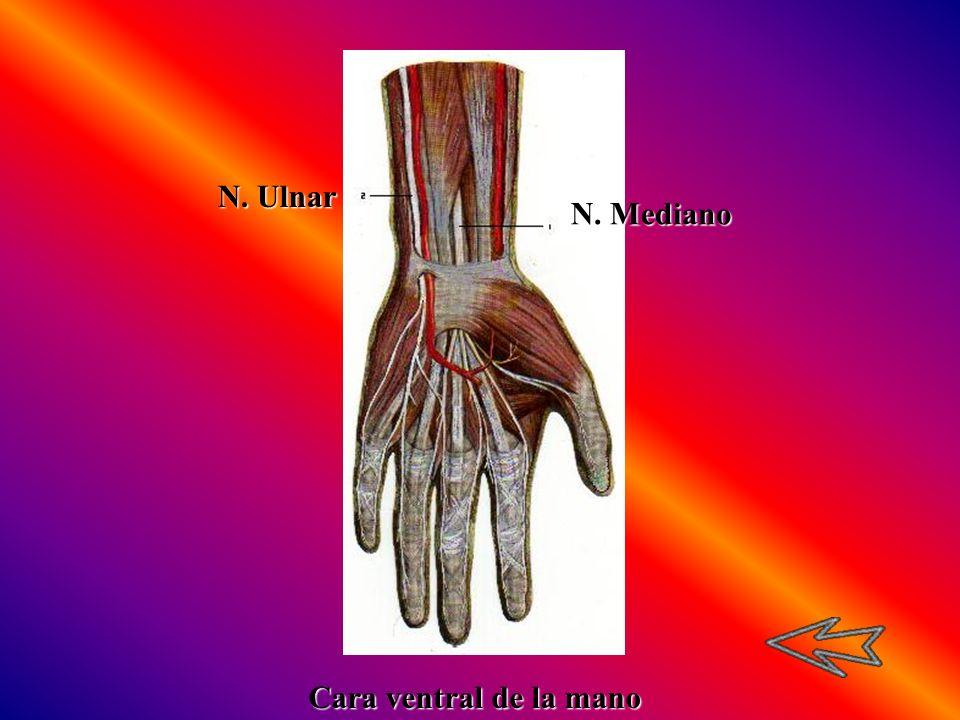 N. Mediano N. Ulnar Cara ventral de la mano