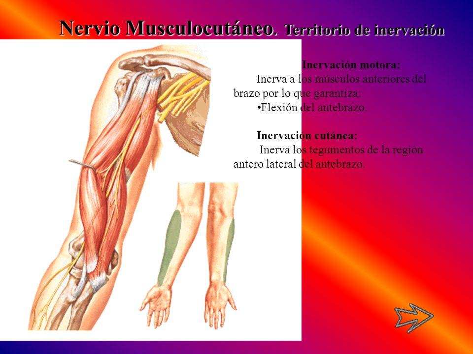 Nervio Musculocutáneo. Territorio de inervación Inervación motora: Inerva a los músculos anteriores del brazo por lo que garantiza: Flexión del antebr