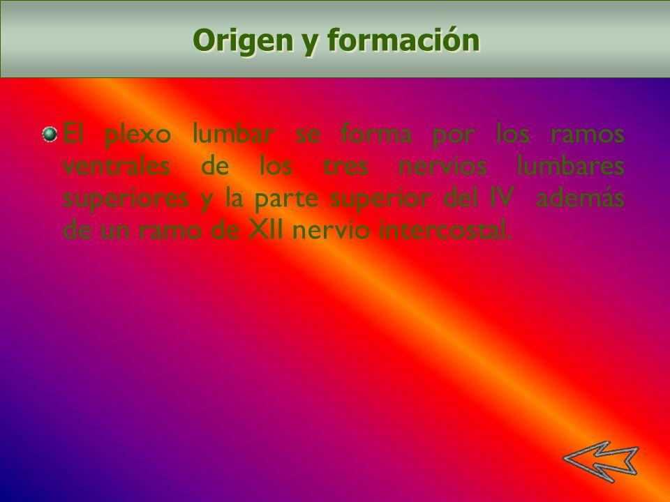 El plexo lumbar se forma por los ramos ventrales de los tres nervios lumbares superiores y la parte superior del IV además de un ramo de XII nervio in