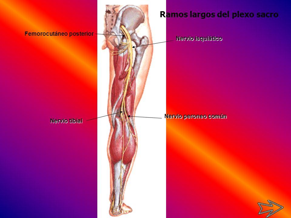 Nervio isquiático Nervio tibial Nervio peroneo común Femorocutáneo posterior Ramos largos del plexo sacro