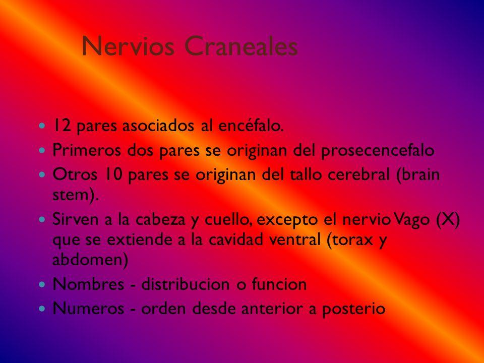 Nervios Craneales 12 pares asociados al encéfalo. Primeros dos pares se originan del prosecencefalo Otros 10 pares se originan del tallo cerebral (bra