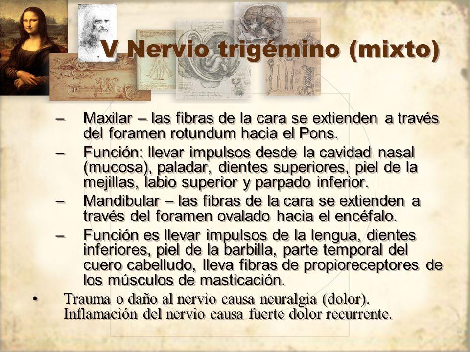 V Nervio trigémino (mixto) –Maxilar – las fibras de la cara se extienden a través del foramen rotundum hacia el Pons. –Función: llevar impulsos desde