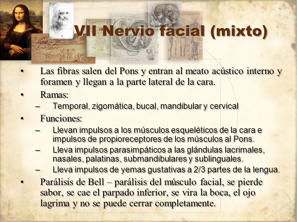 VII Nervio facial (mixto) Las fibras salen del Pons y entran al meato acústico interno y foramen y llegan a la parte lateral de la cara. Ramas: –Tempo