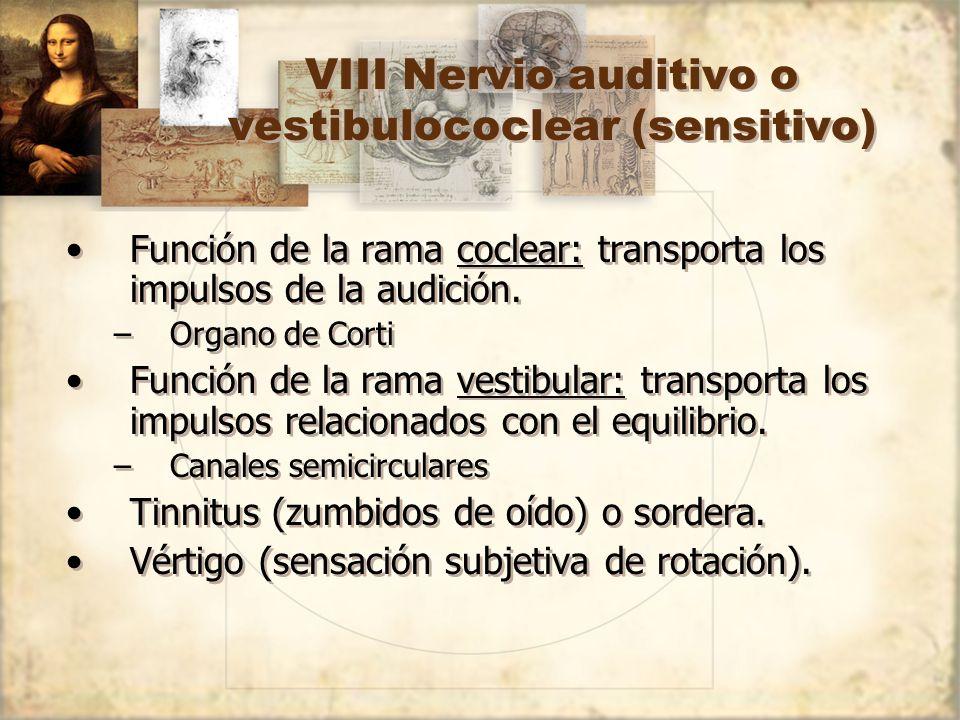 VIII Nervio auditivo o vestibulococlear (sensitivo) Función de la rama coclear: transporta los impulsos de la audición. –Organo de Corti Función de la