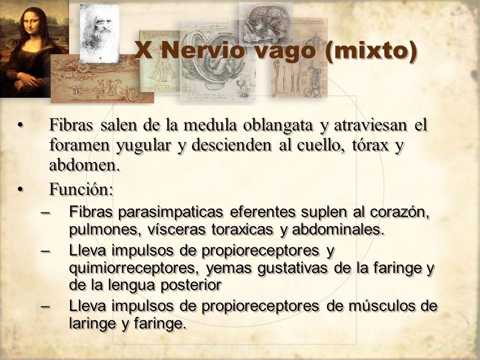 X Nervio vago (mixto) Fibras salen de la medula oblangata y atraviesan el foramen yugular y descienden al cuello, tórax y abdomen. Función: –Fibras pa