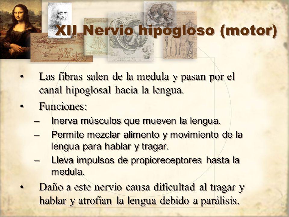 XII Nervio hipogloso (motor) Las fibras salen de la medula y pasan por el canal hipoglosal hacia la lengua. Funciones: –Inerva músculos que mueven la
