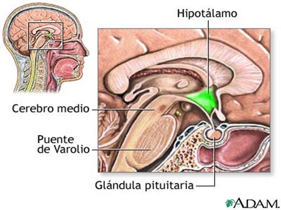 Vascularización Plexo hipotalámico Sistema portal hipotálamo-hipofisario