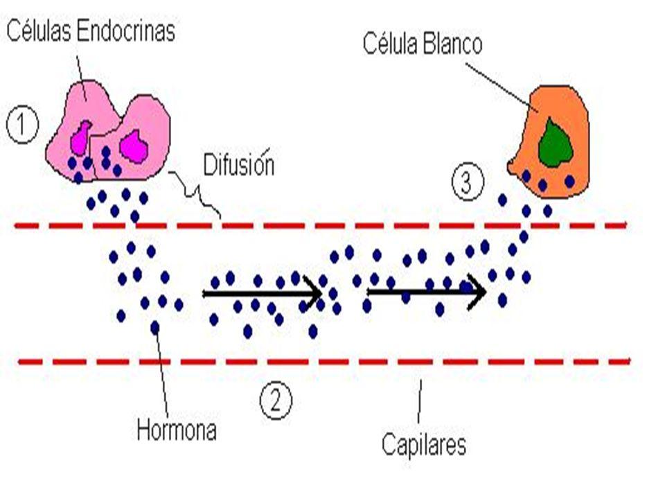 H ORMONAS Efectos Estimulante: promueve actividad en un tejido.