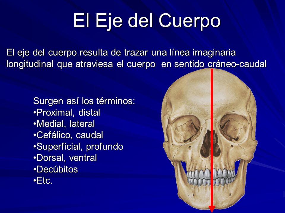 El eje del cuerpo resulta de trazar una línea imaginaria longitudinal que atraviesa el cuerpo en sentido cráneo-caudal Surgen así los términos: Proxim