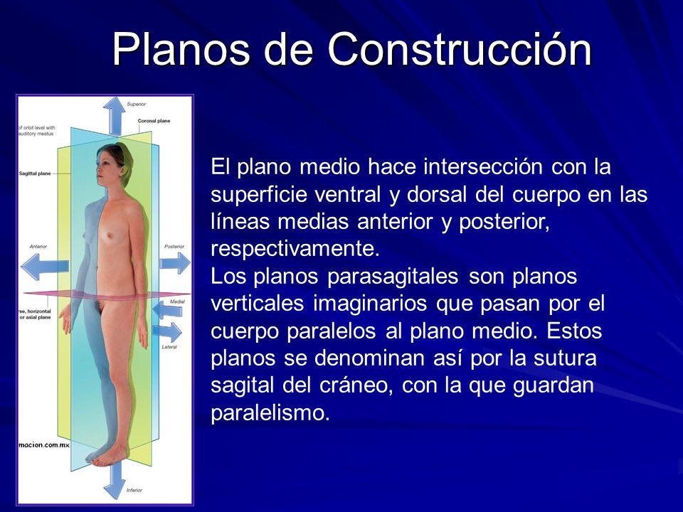 Planos de Construcción El plano medio hace intersección con la superficie ventral y dorsal del cuerpo en las líneas medias anterior y posterior, respe