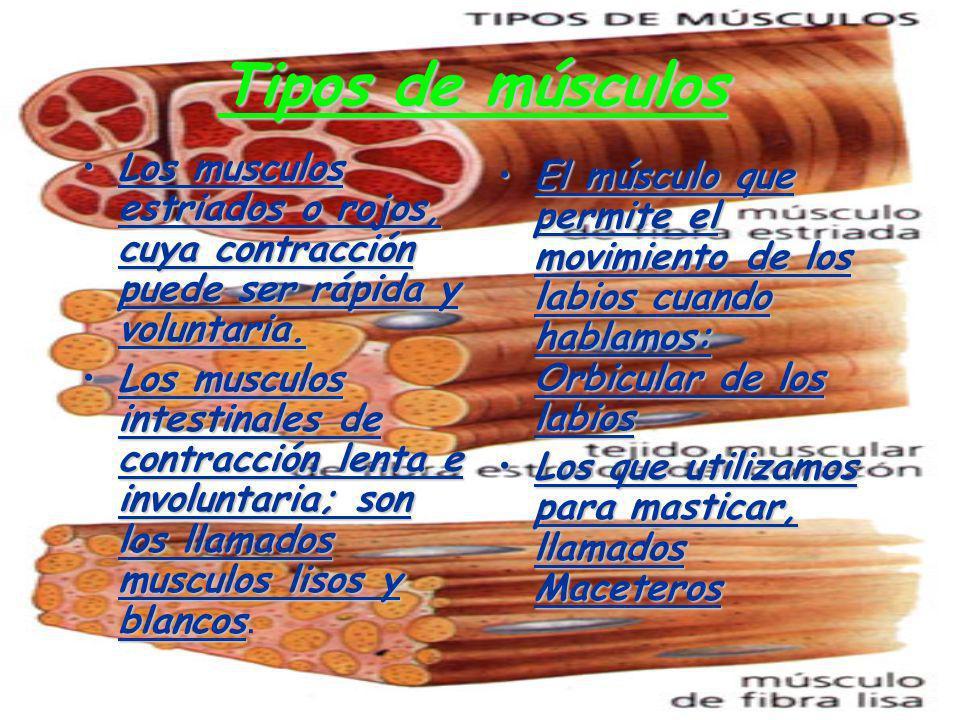 Tipos de músculos Los musculos estriados o rojos, cuya contracción puede ser rápida y voluntaria.Los musculos estriados o rojos, cuya contracción pued