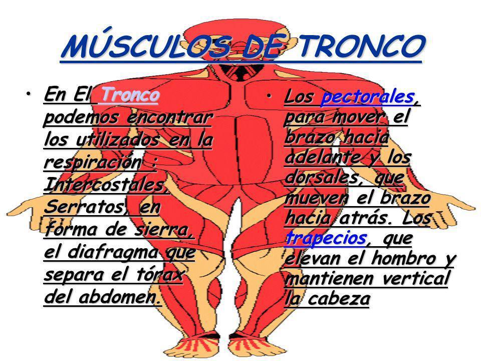 MÚSCULOS DE TRONCO En El Tronco podemos encontrar los utilizados en la respiración : Intercostales, Serratos, en forma de sierra, el diafragma que sep