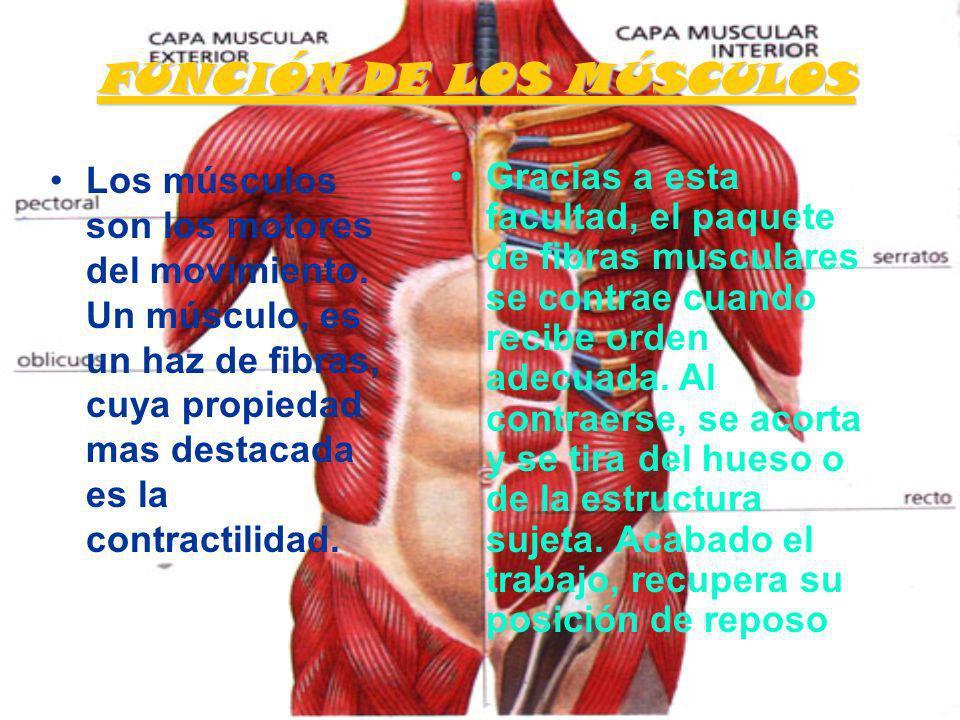 FUNCIÓN DE LOS MÚSCULOS Los músculos son los motores del movimiento. Un músculo, es un haz de fibras, cuya propiedad mas destacada es la contractilida