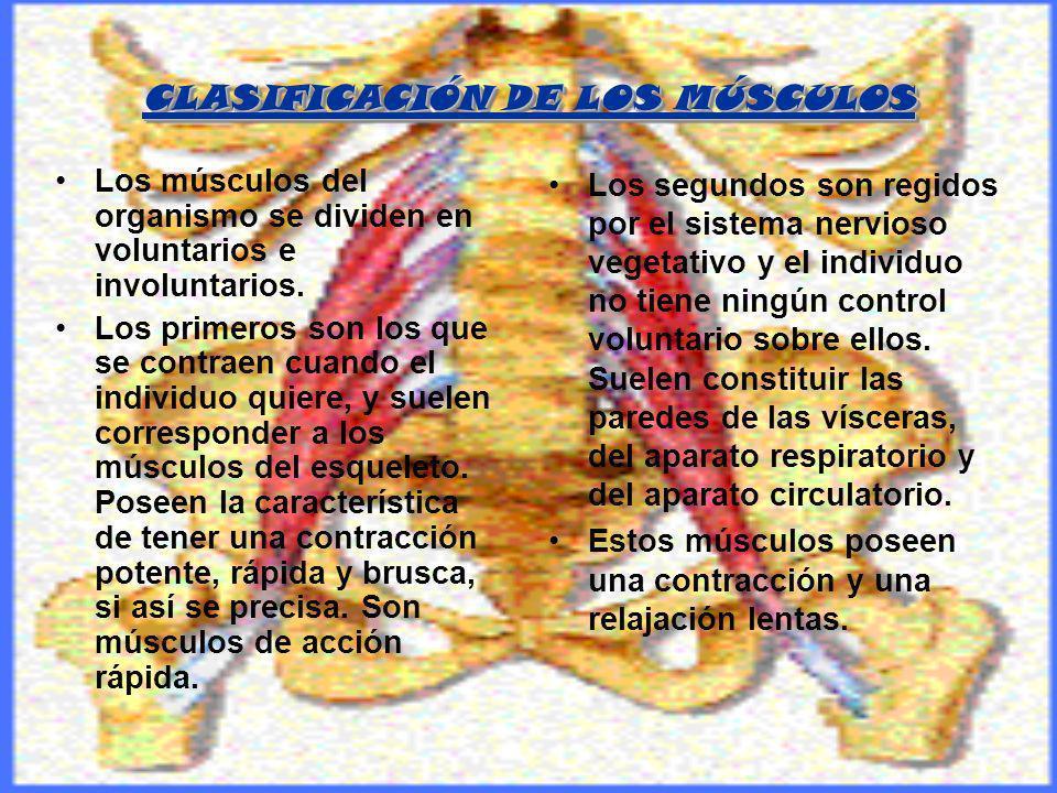 CLASIFICACIÓN DE LOS MÚSCULOS Los músculos del organismo se dividen en voluntarios e involuntarios. Los primeros son los que se contraen cuando el ind