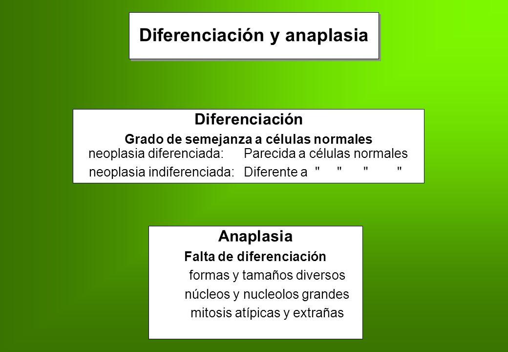 Diferenciación y anaplasia Diferenciación Grado de semejanza a células normales neoplasia diferenciada: Parecida a células normales neoplasia indifere